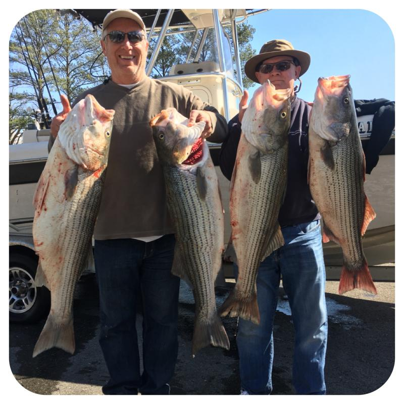 Striped bass Caught On Trip With Mike Walker Of Fishing 24-7 Guide Service