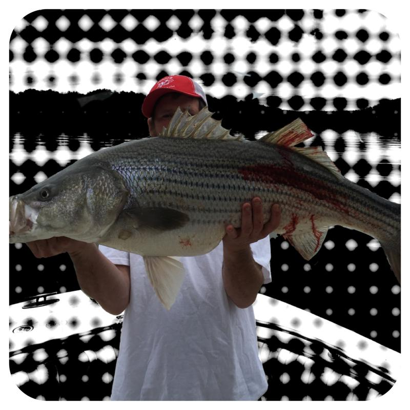 Smith Lake Striper Caught By Mike Walker Of Fishing 24-7 Guide Service